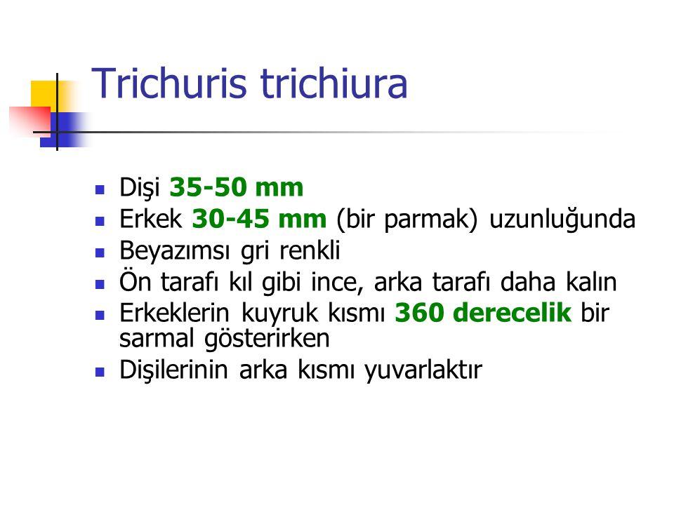 Trichuris trichiura Dişi 35-50 mm Erkek 30-45 mm (bir parmak) uzunluğunda Beyazımsı gri renkli Ön tarafı kıl gibi ince, arka tarafı daha kalın Erkekle
