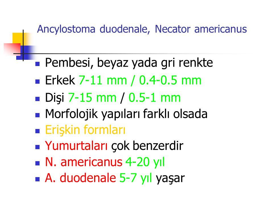 Ancylostoma duodenale, Necator americanus Pembesi, beyaz yada gri renkte Erkek 7-11 mm / 0.4-0.5 mm Dişi 7-15 mm / 0.5-1 mm Morfolojik yapıları farklı