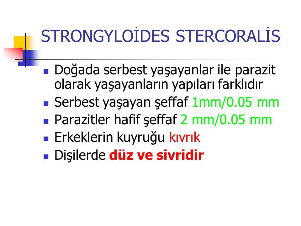 STRONGYLOİDES STERCORALİS Doğada serbest yaşayanlar ile parazit olarak yaşayanların yapıları farklıdır Serbest yaşayan şeffaf 1mm/0.05 mm Parazitler h