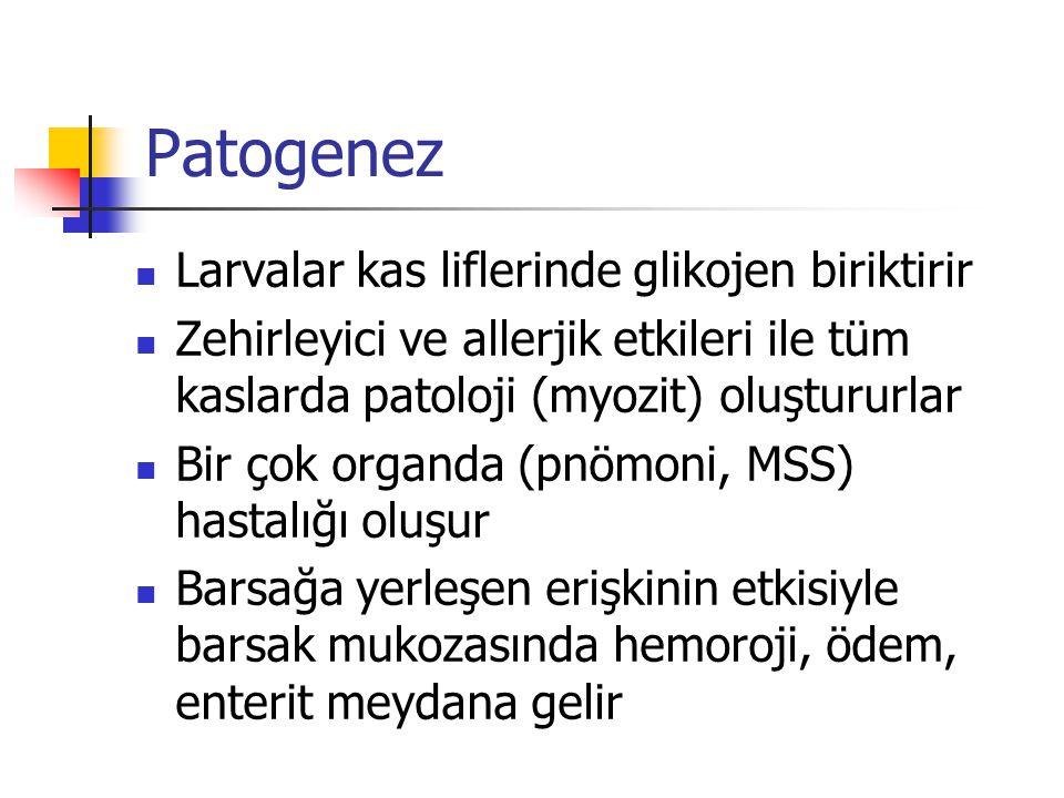 Patogenez Larvalar kas liflerinde glikojen biriktirir Zehirleyici ve allerjik etkileri ile tüm kaslarda patoloji (myozit) oluştururlar Bir çok organda