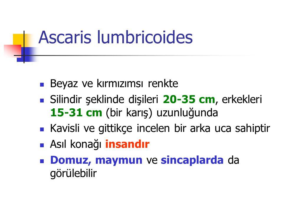 Ascaris lumbricoides Beyaz ve kırmızımsı renkte Silindir şeklinde dişileri 20-35 cm, erkekleri 15-31 cm (bir karış) uzunluğunda Kavisli ve gittikçe in