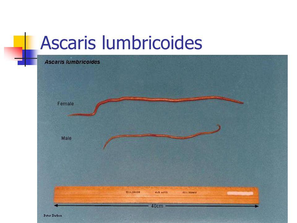 Ascaris lumbricoides (Bulaşması) İnsanlara kontamine topraklardaki embriyonlu yumurtaların (ovovivipar) ağızdan alınmasıyla bulaşır Topraktan elle temasla (bahçe infeksiyonu) Su Çiğ sebzelerle