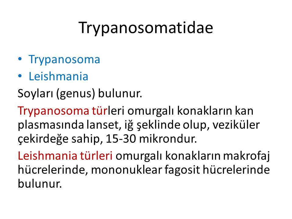 Trypanosomatidae- gelişme formları Trypomastigote, omurgalı konakta, Epimastigote, Vektörde, Glossina, Triatoma, Melophagus Amastigot Omurgalı konakta Promastigot Vektörde, phlebotomus Trypanoso ma Leishmania