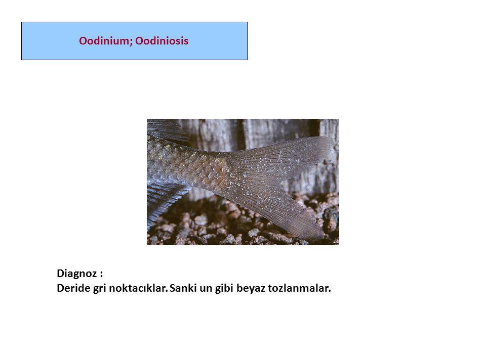 Diagnoz : Deride gri noktacıklar. Sanki un gibi beyaz tozlanmalar. Oodinium; Oodiniosis