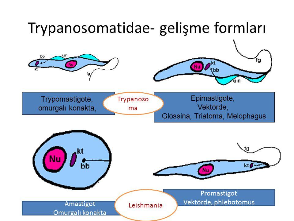 Trypanosomatidae- gelişme formları Trypomastigote, omurgalı konakta, Epimastigote, Vektörde, Glossina, Triatoma, Melophagus Amastigot Omurgalı konakta