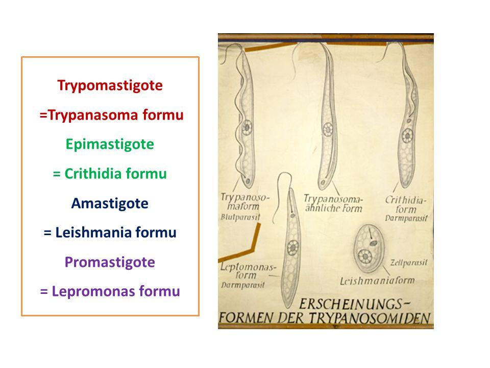 Trypomastigote =Trypanasoma formu Epimastigote = Crithidia formu Amastigote = Leishmania formu Promastigote = Lepromonas formu