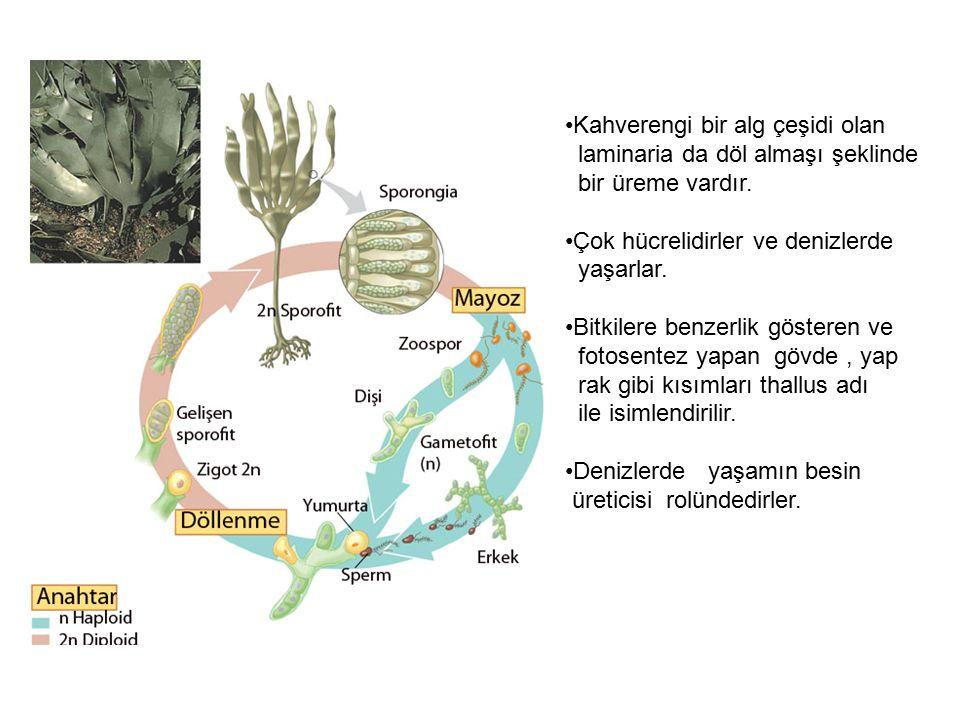 Kahverengi bir alg çeşidi olan laminaria da döl almaşı şeklinde bir üreme vardır. Çok hücrelidirler ve denizlerde yaşarlar. Bitkilere benzerlik göster
