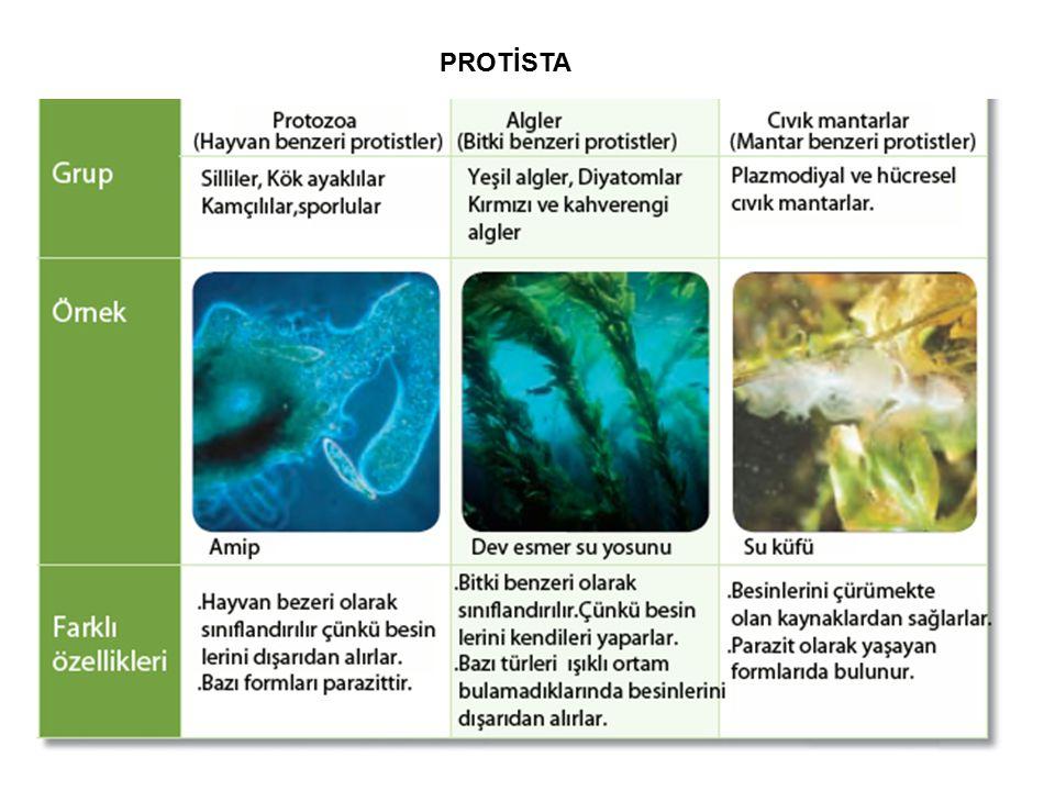 PROTOZOA (Hayvan benzeri protistler) Protozoalar kök ayaklılar, kamçılılar, silliler ve sporlular olmak üzere dört grupta incelenir.