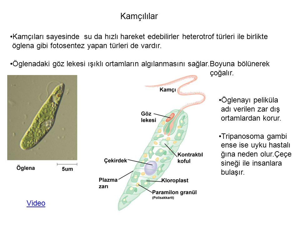 Kamçılılar Kamçıları sayesinde su da hızlı hareket edebilirler heterotrof türleri ile birlikte öglena gibi fotosentez yapan türleri de vardır. Öglenad