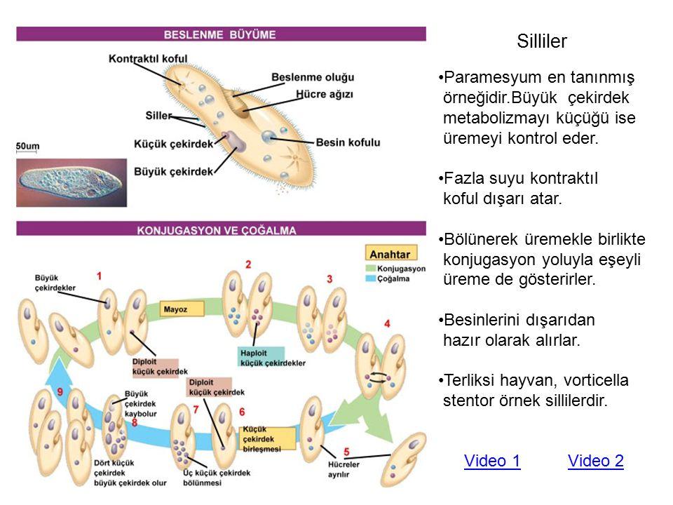 Silliler Paramesyum en tanınmış örneğidir.Büyük çekirdek metabolizmayı küçüğü ise üremeyi kontrol eder. Fazla suyu kontraktıl koful dışarı atar. Bölün