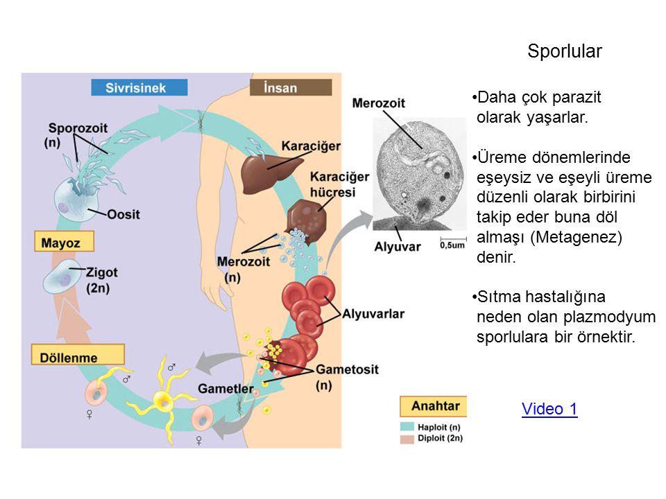 Diyatomlar ALGLER (Bitki benzeri protistler) Tek hücreli olabildikleri gibi çok hücreli türleride vardır.