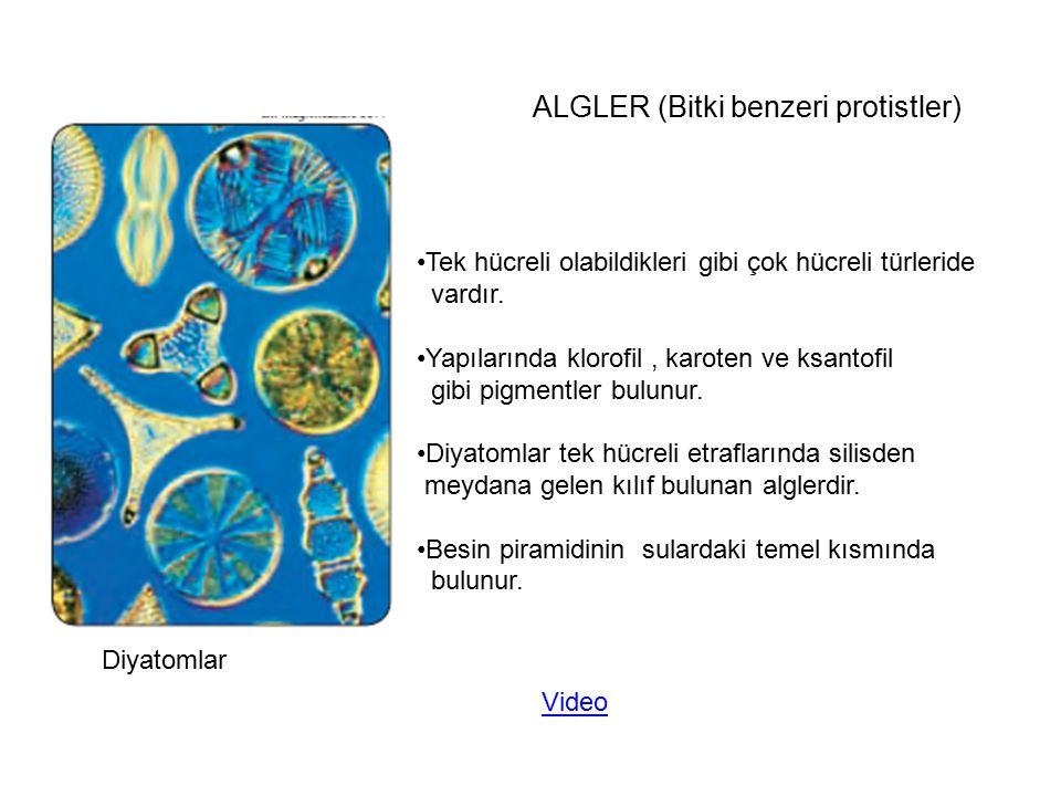 Diyatomlar ALGLER (Bitki benzeri protistler) Tek hücreli olabildikleri gibi çok hücreli türleride vardır. Yapılarında klorofil, karoten ve ksantofil g