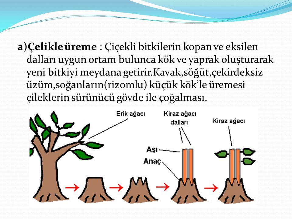 a)Çelikle üreme : Çiçekli bitkilerin kopan ve eksilen dalları uygun ortam bulunca kök ve yaprak oluşturarak yeni bitkiyi meydana getirir.Kavak,söğüt,ç
