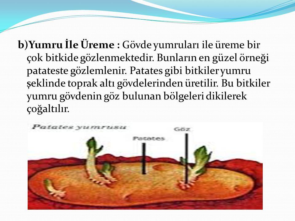 b)Yumru İle Üreme : Gövde yumruları ile üreme bir çok bitkide gözlenmektedir. Bunların en güzel örneği patateste gözlemlenir. Patates gibi bitkiler yu