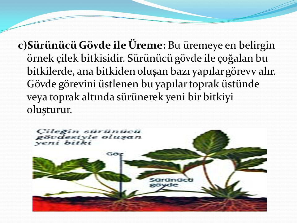 c)Sürünücü Gövde ile Üreme: Bu üremeye en belirgin örnek çilek bitkisidir. Sürünücü gövde ile çoğalan bu bitkilerde, ana bitkiden oluşan bazı yapılar