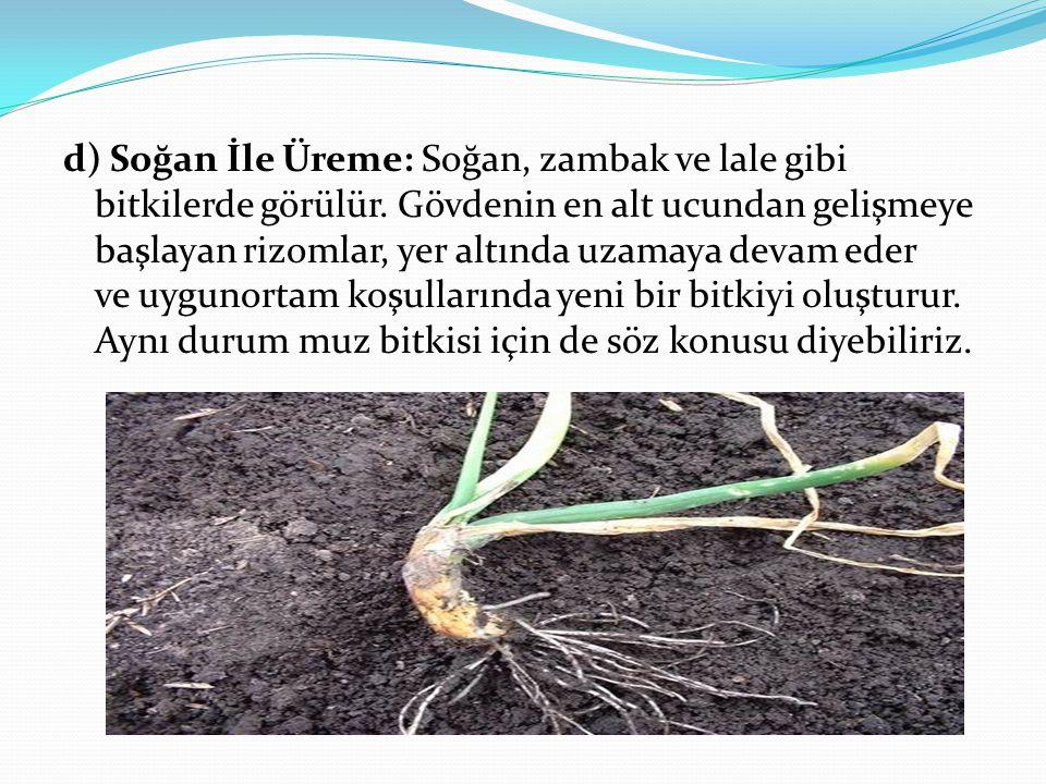 d) Soğan İle Üreme: Soğan, zambak ve lale gibi bitkilerde görülür. Gövdenin en alt ucundan gelişmeye başlayan rizomlar, yer altında uzamaya devam eder