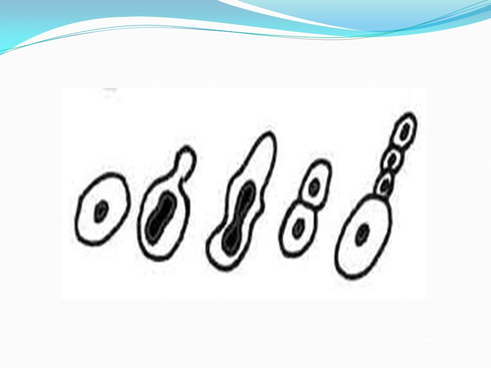 3-)Sporla üreme : Tek hücrelilerden plazmodyumda mantarlarda ve çiçeksiz bitkilerin tamamında gerçekleşir.