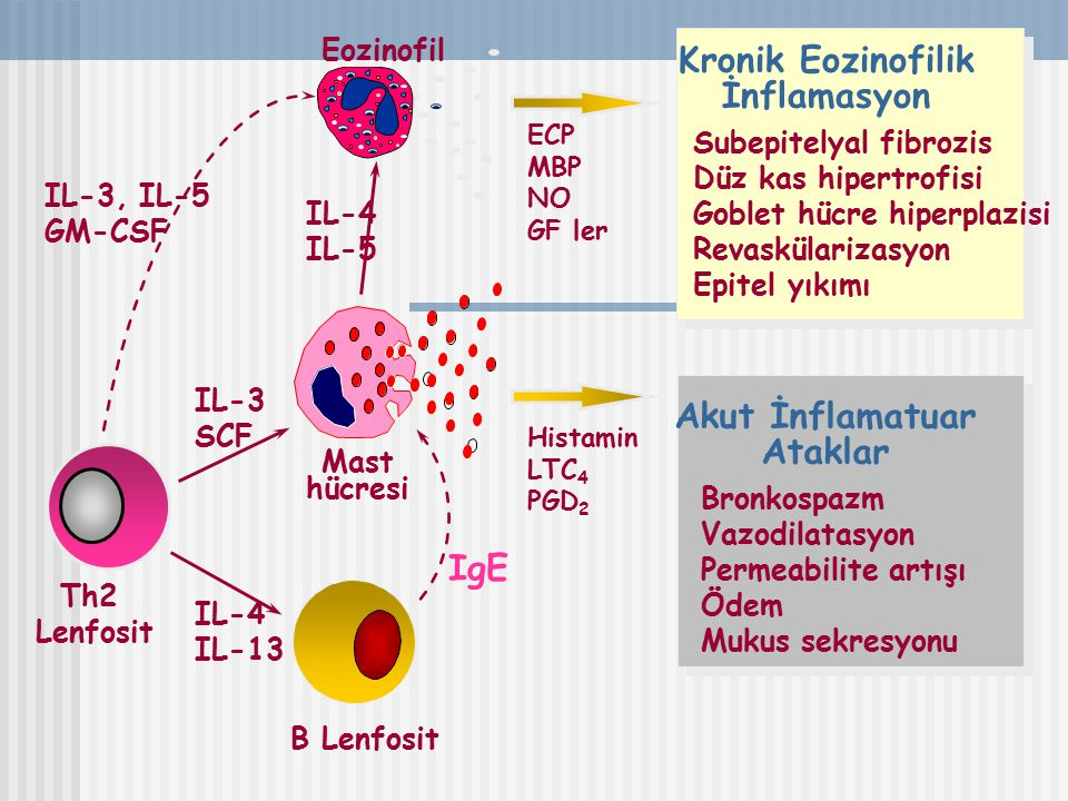 Th2 Lenfosit Kronik Eozinofilik İnflamasyon Subepitelyal fibrozis Düz kas hipertrofisi Goblet hücre hiperplazisi Revaskülarizasyon Epitel yıkımı ECP M
