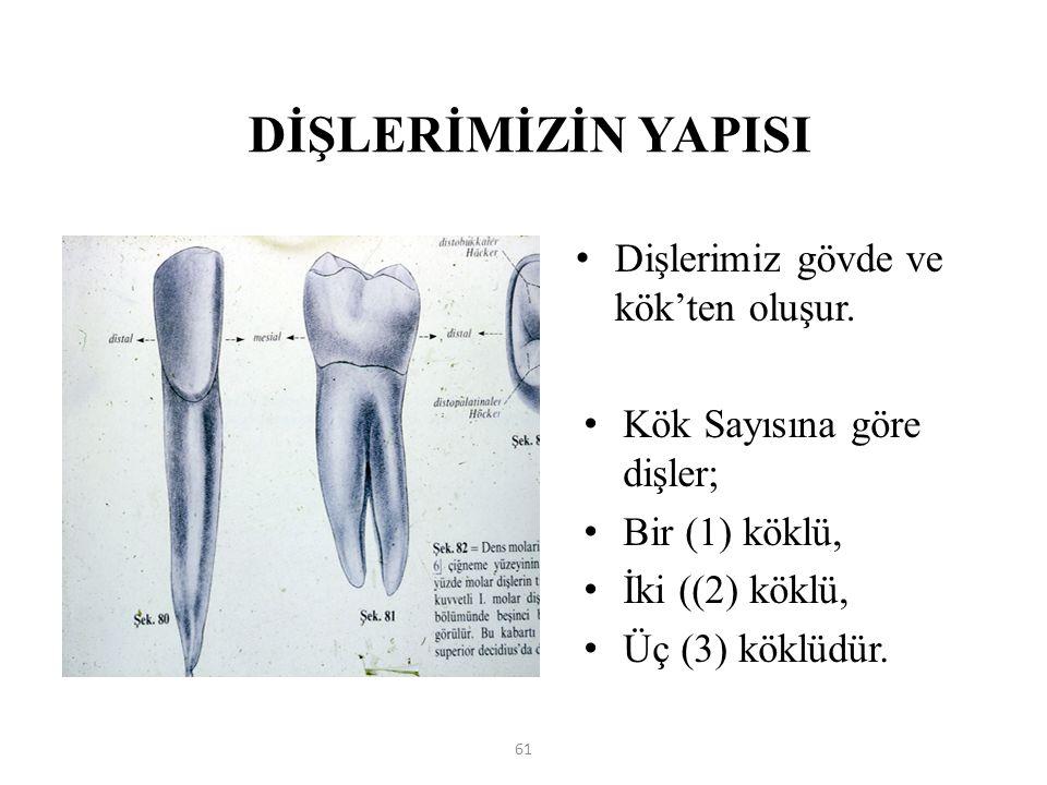 DİŞLERİMİZİN YAPISI Dişlerimiz gövde ve kök'ten oluşur. Kök Sayısına göre dişler; Bir (1) köklü, İki ((2) köklü, Üç (3) köklüdür. 61