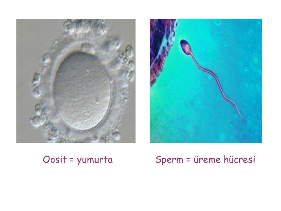 Oosit = yumurtaSperm = üreme hücresi