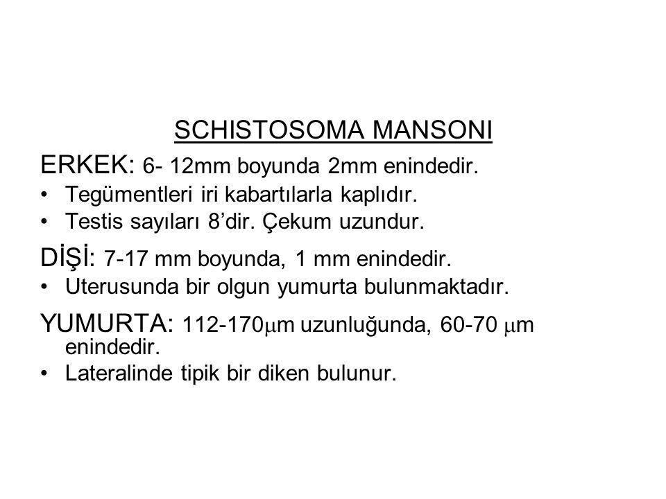 SCHISTOSOMA MANSONI ERKEK: 6- 12mm boyunda 2mm enindedir. Tegümentleri iri kabartılarla kaplıdır. Testis sayıları 8'dir. Çekum uzundur. DİŞİ: 7-17 mm