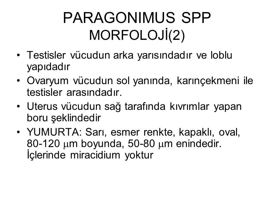 PARAGONIMUS SPP MORFOLOJİ(2) Testisler vücudun arka yarısındadır ve loblu yapıdadır Ovaryum vücudun sol yanında, karınçekmeni ile testisler arasındadı