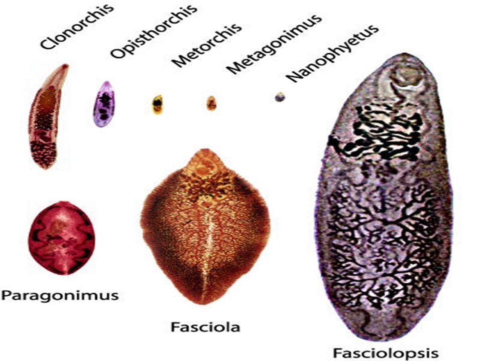 Karaciğer-safra yollarına yerleşenler –Fasciola hepatica –Dicrocoelium dendriticum –Clonorchis sinensis –Opisthorchis felineus Akciğere yerleşenler –Paragonimus westermani Dolaşım sistemi-Kan yerleşimli olanlar –Schistosoma spp İnce bağırsak yerleşimliler –Fasciolopsis buski –Heterophyes heterophyes –Metagonimus yokogawai –Echinostoma spp