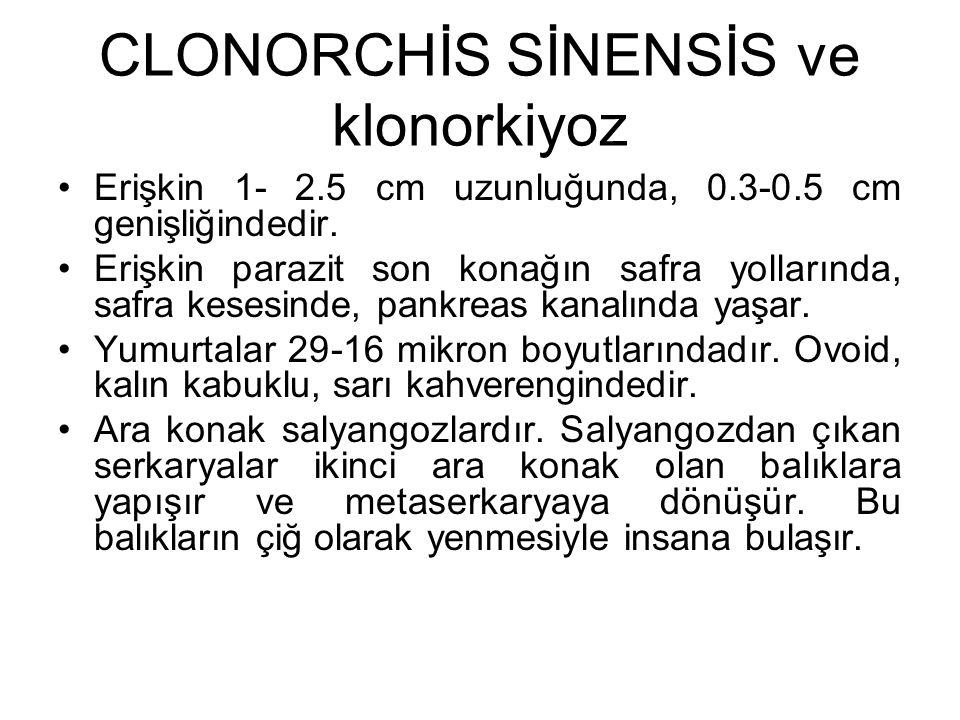CLONORCHİS SİNENSİS ve klonorkiyoz Erişkin 1- 2.5 cm uzunluğunda, 0.3-0.5 cm genişliğindedir. Erişkin parazit son konağın safra yollarında, safra kese