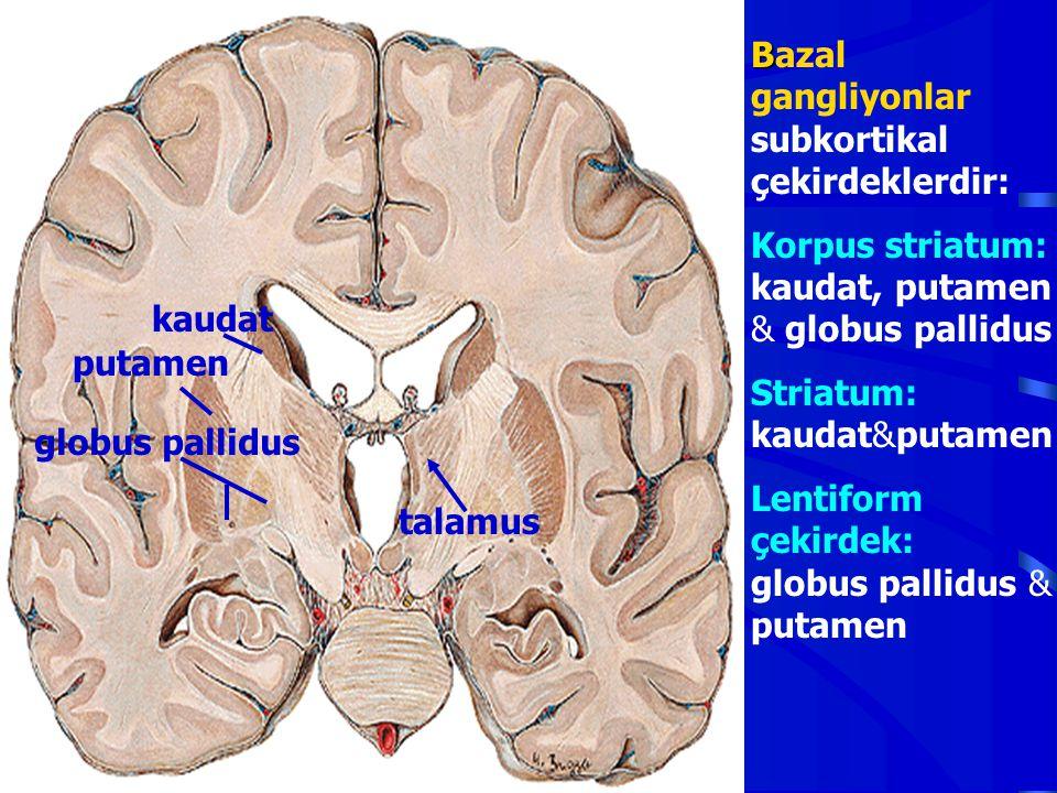 B Bazal gangliyonlar subkortikal çekirdeklerdir: Korpus striatum: kaudat, putamen & globus pallidus Striatum: kaudat&putamen Lentiform çekirdek: globu