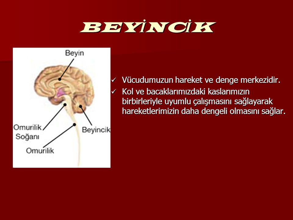 BEY İ NC İ K Vücudumuzun hareket ve denge merkezidir. Vücudumuzun hareket ve denge merkezidir. Kol ve bacaklarımızdaki kaslarımızın birbirleriyle uyum