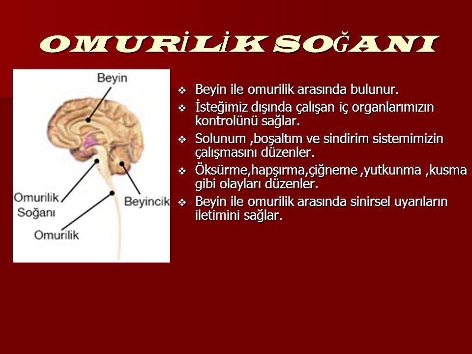 OMUR İ L İ K SO Ğ ANI  Beyin ile omurilik arasında bulunur.  İsteğimiz dışında çalışan iç organlarımızın kontrolünü sağlar.  Solunum,boşaltım ve si