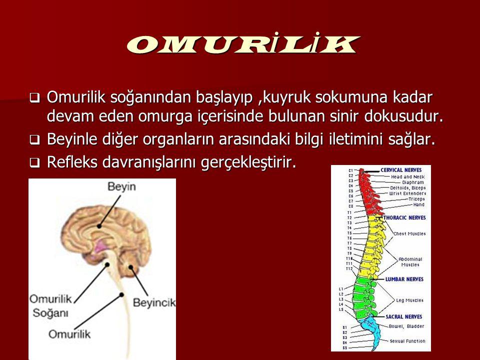 OMUR İ L İ K  Omurilik soğanından başlayıp,kuyruk sokumuna kadar devam eden omurga içerisinde bulunan sinir dokusudur.  Beyinle diğer organların ara