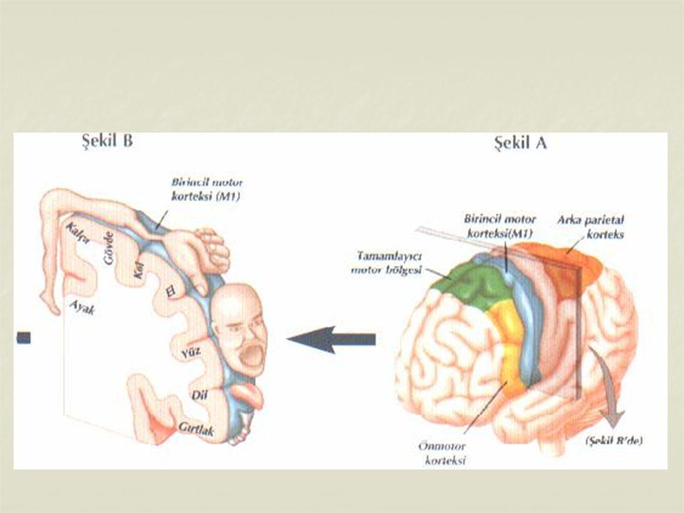 Beyincik : Kafatasının arka tarafında beyinle omurilik soğanı arasında bulunur.