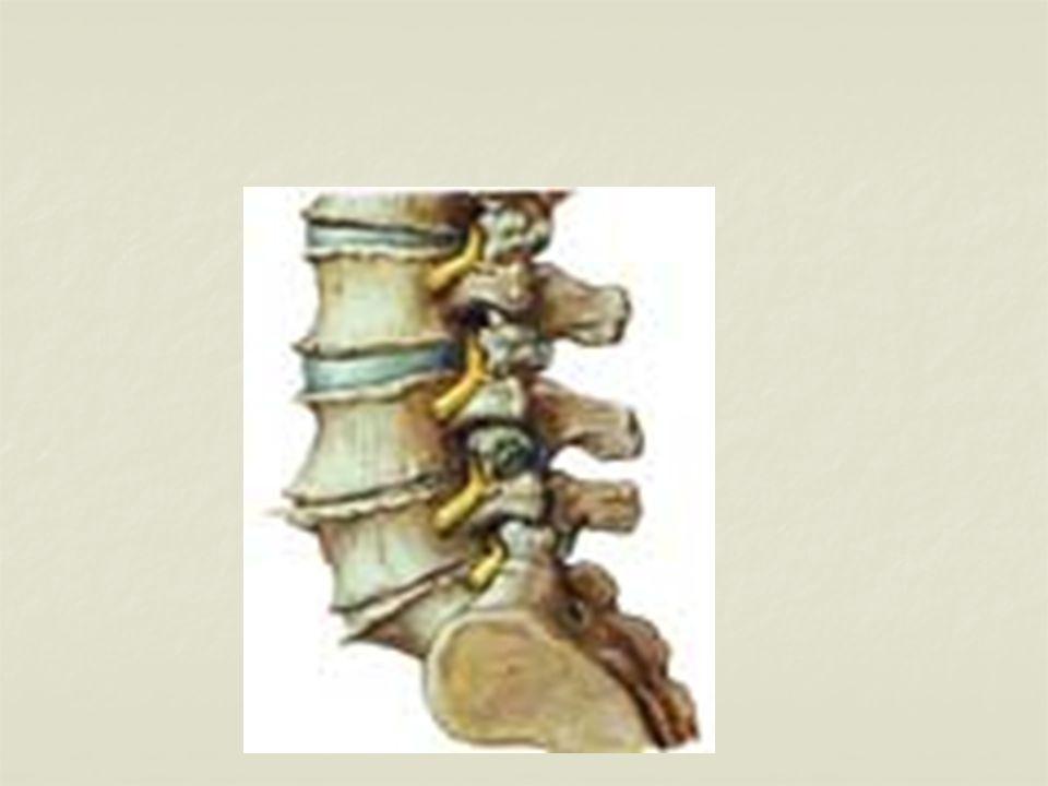 Çevresel Sinir Sistemi Lifsi yapıdaki sinir tellerinden (hücrelerinden) oluşur.