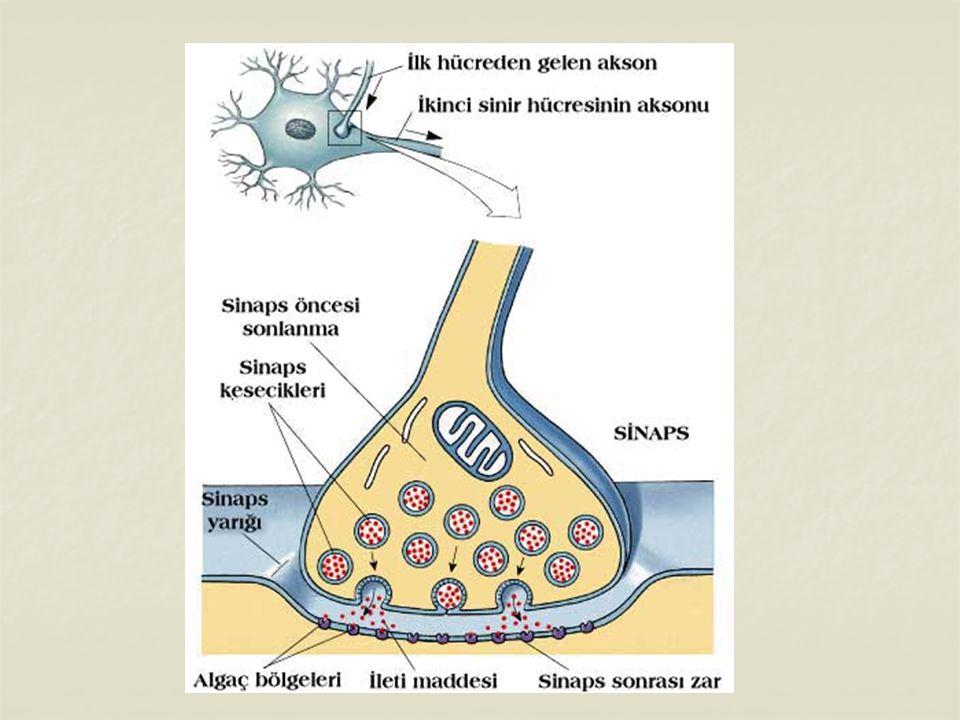 SİNİRLER VE ÖZELLİKLERİ Sinir sisteminde görevlerine göre 3 çeşit sinir hücresi bulunur.