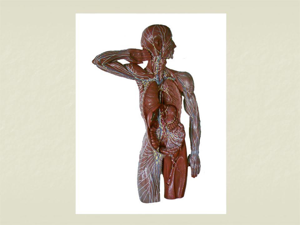 Sinir Sistemi Sinir sistemi yapı ve görevlerindeki farklılığa dayanarak kısımlara ayrılır.
