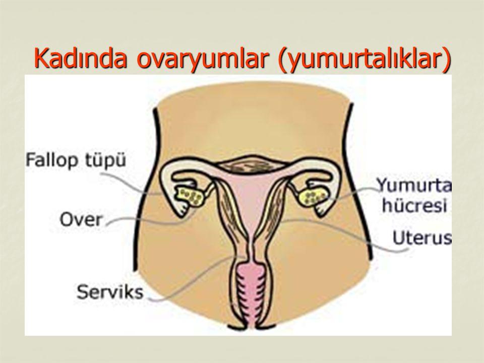 Kadında ovaryumlar (yumurtalıklar)