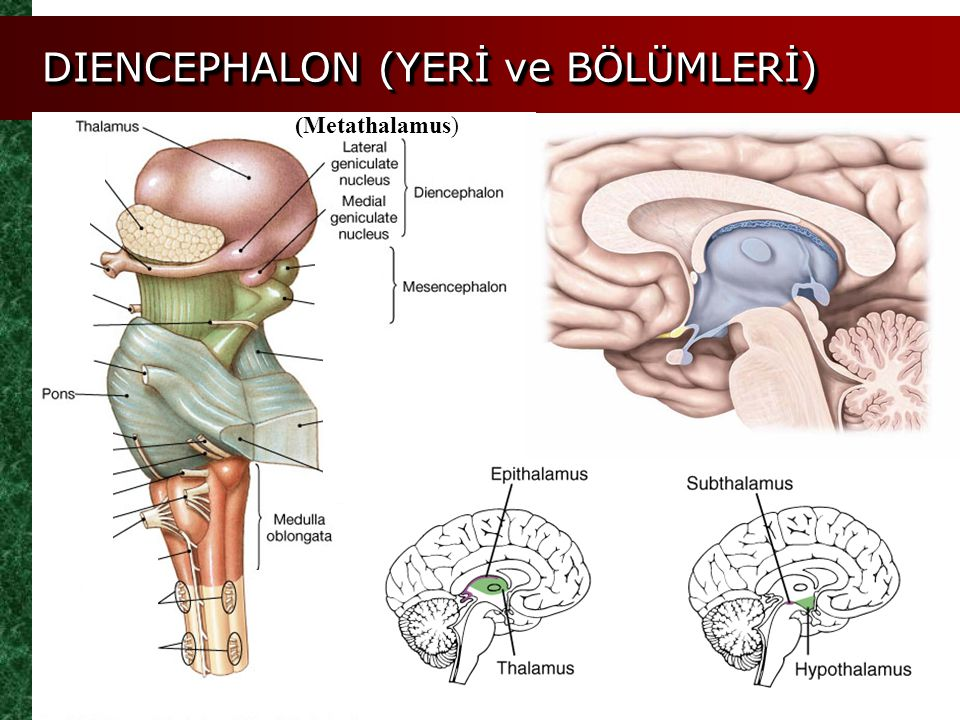 DIENCEPHALON (YERİ ve BÖLÜMLERİ) (Metathalamus)