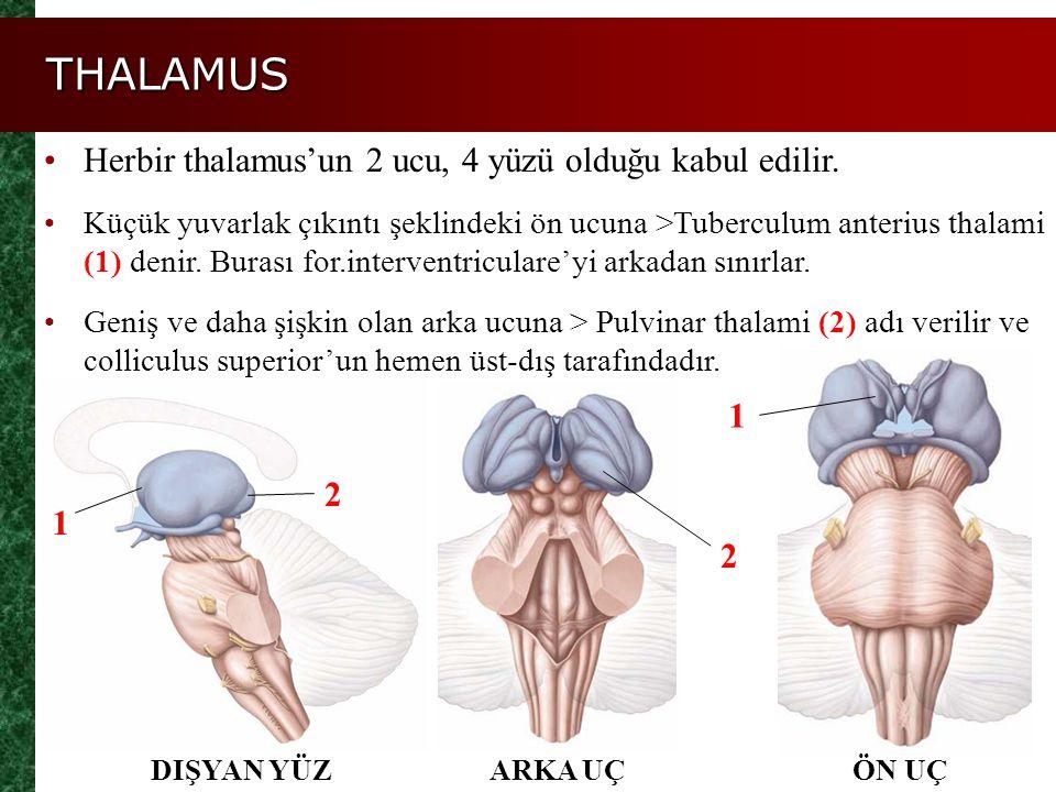 THALAMUS Herbir thalamus'un 2 ucu, 4 yüzü olduğu kabul edilir. Küçük yuvarlak çıkıntı şeklindeki ön ucuna >Tuberculum anterius thalami (1) denir. Bura