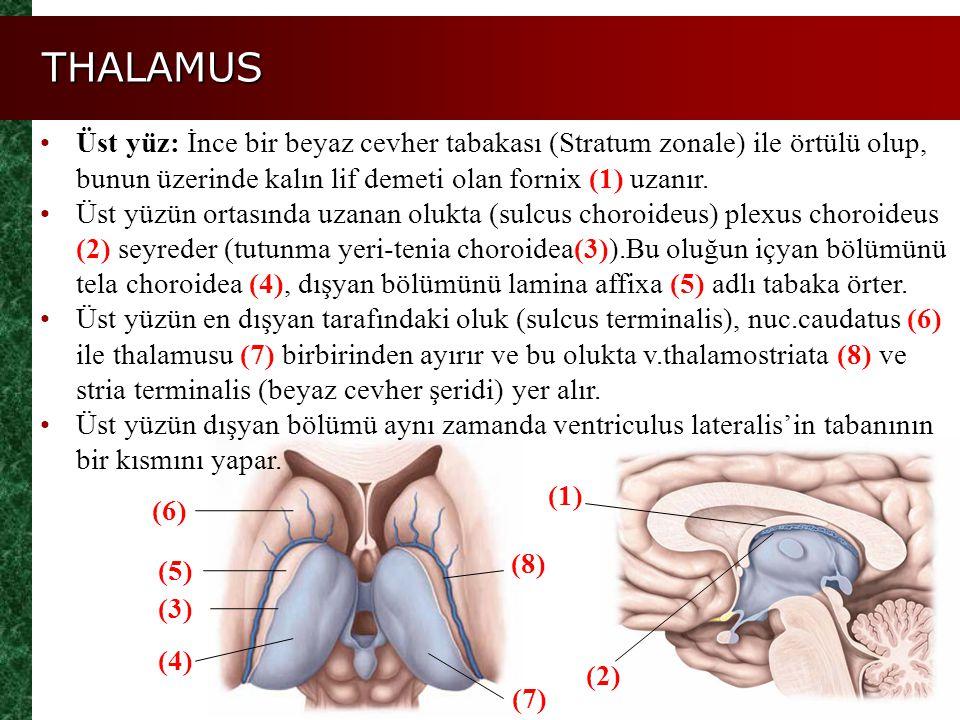 THALAMUS Figure 14.11a, b Üst yüz: İnce bir beyaz cevher tabakası (Stratum zonale) ile örtülü olup, bunun üzerinde kalın lif demeti olan fornix (1) uz