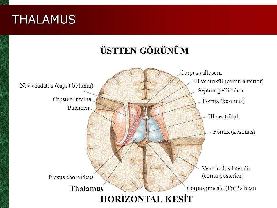 THALAMUS ÜSTTEN GÖRÜNÜM HORİZONTAL KESİT III.ventrikül (cornu anterior) Corpus callosum Septum pellicidum Fornix (kesilmiş) III.ventrikül Fornix (kesi