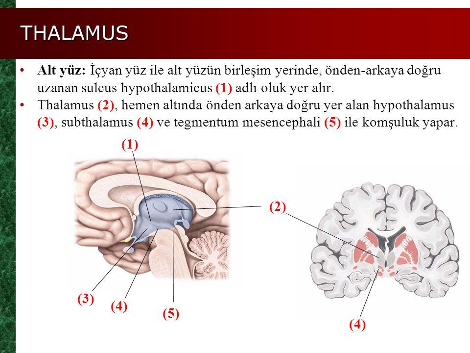 THALAMUS Figure 14.11a, b Alt yüz: İçyan yüz ile alt yüzün birleşim yerinde, önden-arkaya doğru uzanan sulcus hypothalamicus (1) adlı oluk yer alır. T