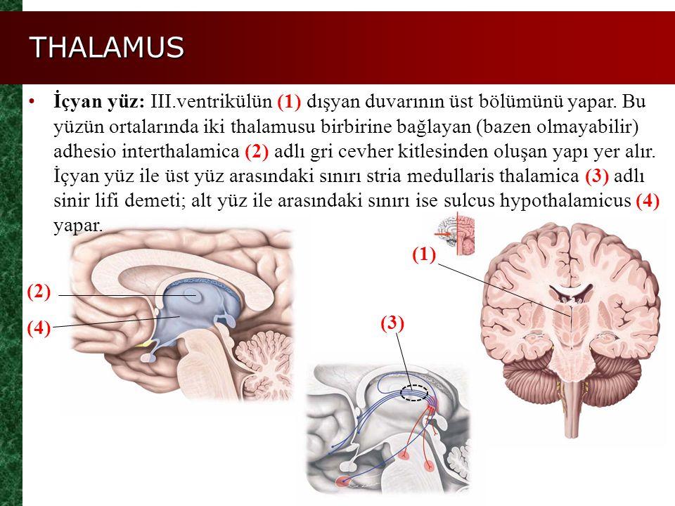 THALAMUS Figure 14.11a, b (4) (2) İçyan yüz: III.ventrikülün (1) dışyan duvarının üst bölümünü yapar. Bu yüzün ortalarında iki thalamusu birbirine bağ