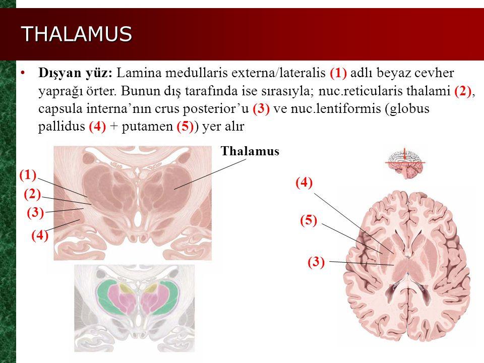 THALAMUS Figure 14.11a, b (1) Dışyan yüz: Lamina medullaris externa/lateralis (1) adlı beyaz cevher yaprağı örter. Bunun dış tarafında ise sırasıyla;
