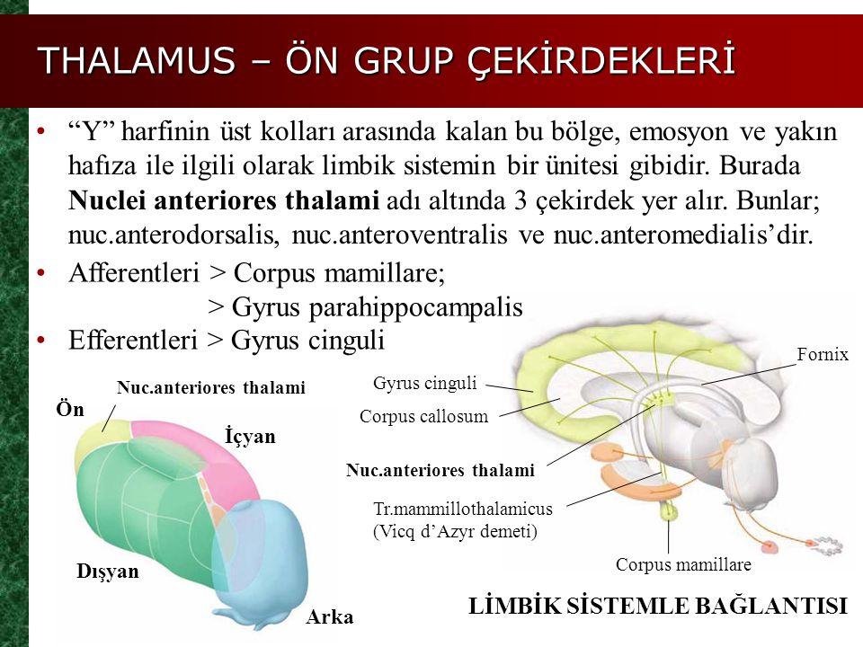 """THALAMUS – ÖN GRUP ÇEKİRDEKLERİ """"Y"""" harfinin üst kolları arasında kalan bu bölge, emosyon ve yakın hafıza ile ilgili olarak limbik sistemin bir ünites"""