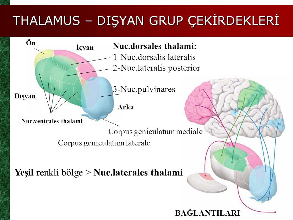 THALAMUS – DIŞYAN GRUP ÇEKİRDEKLERİ Ön İçyan Dışyan Arka Nuc.ventrales thalami BAĞLANTILARI Yeşil renkli bölge > Nuc.laterales thalami Nuc.dorsales th