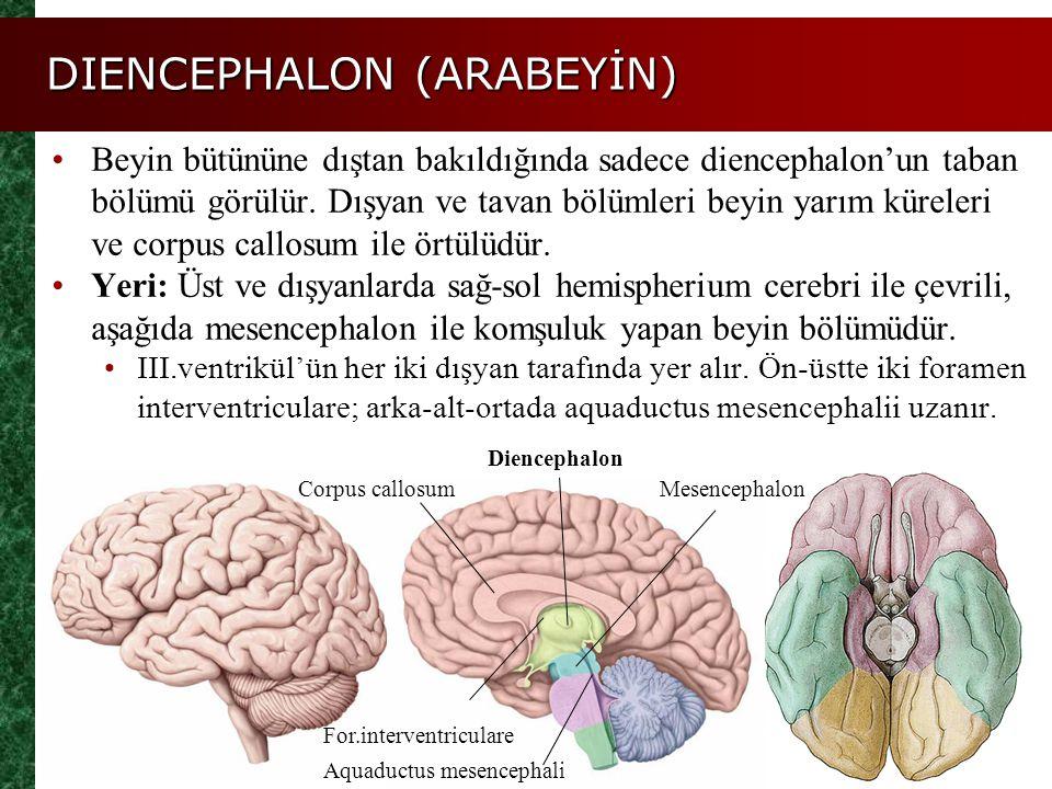 DIENCEPHALON (ARABEYİN) Beyin bütününe dıştan bakıldığında sadece diencephalon'un taban bölümü görülür. Dışyan ve tavan bölümleri beyin yarım küreleri