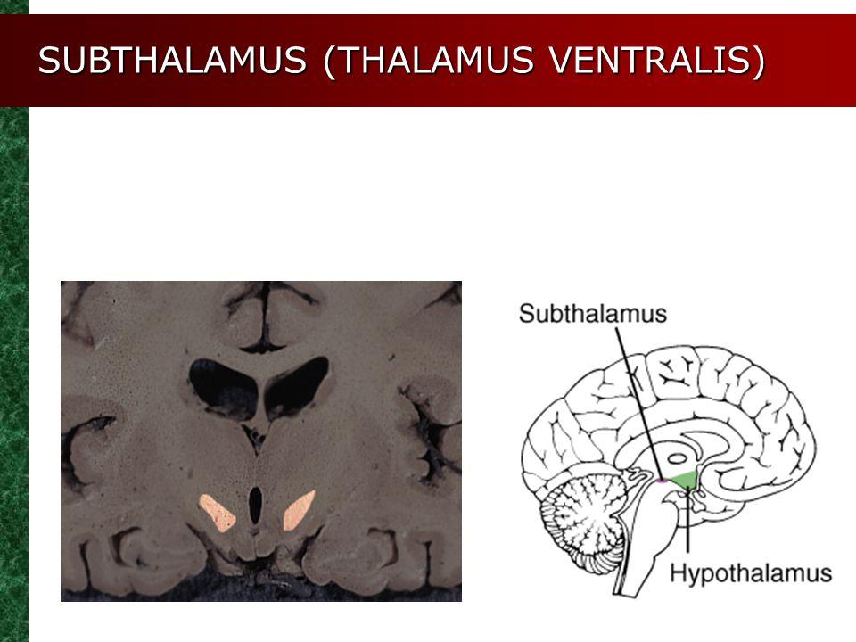 SUBTHALAMUS (THALAMUS VENTRALIS)