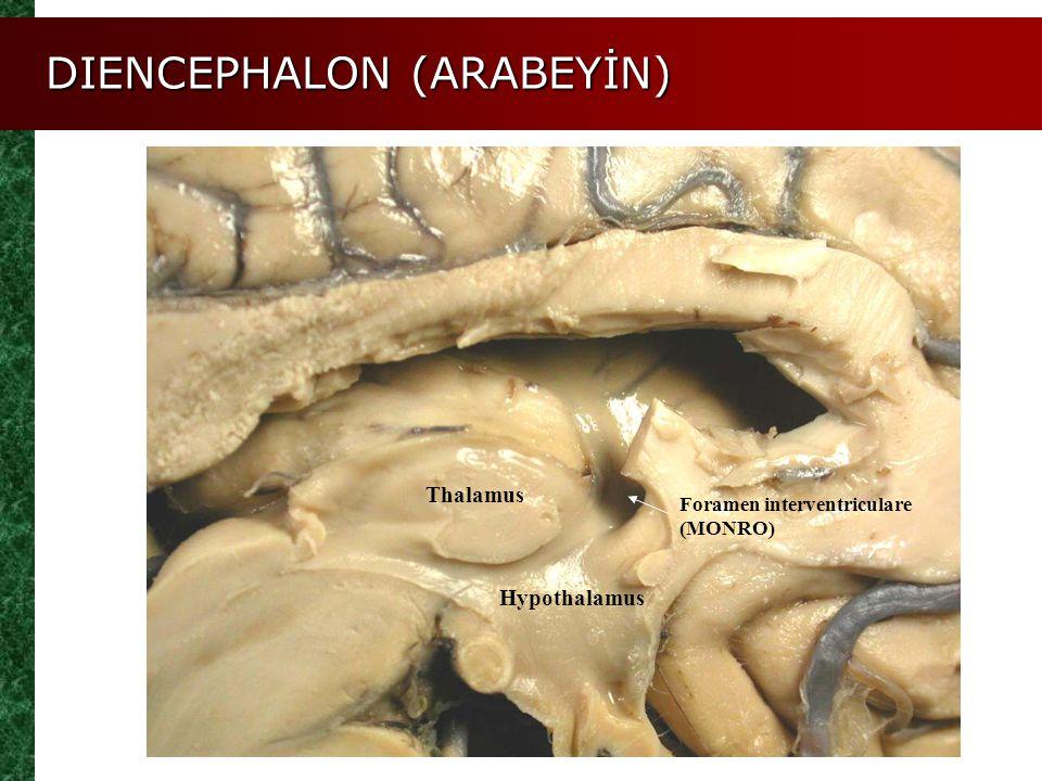 Hypothalamus Thalamus Foramen interventriculare (MONRO) DIENCEPHALON (ARABEYİN)