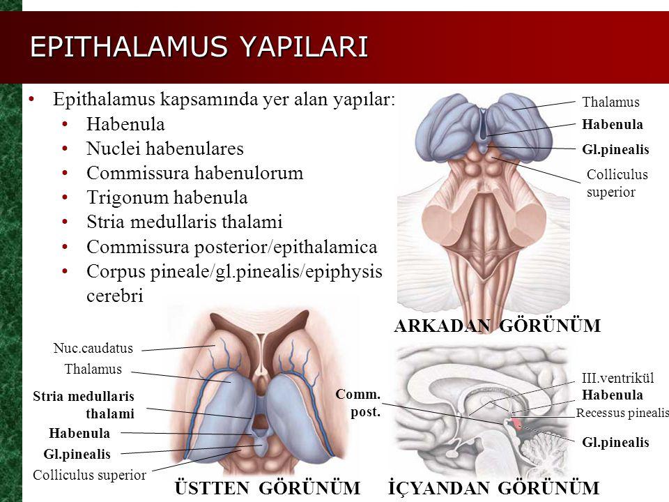 EPITHALAMUS YAPILARI Epithalamus kapsamında yer alan yapılar: Habenula Nuclei habenulares Commissura habenulorum Trigonum habenula Stria medullaris th